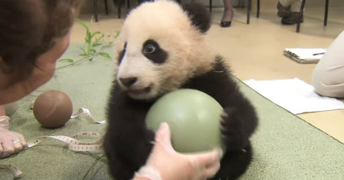 They Try To Take Away This Young Panda S Ball And He