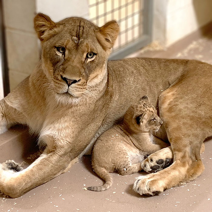 Tatu Baby Father Name: Daddy Lion Crouching Down To Meet His Baby Cub For The