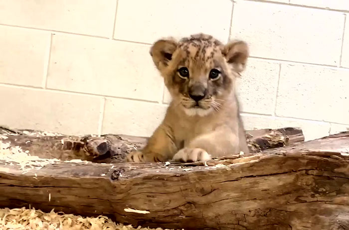 Video Of Daddy Lion Crouching Down To Meet His Baby Cub ...