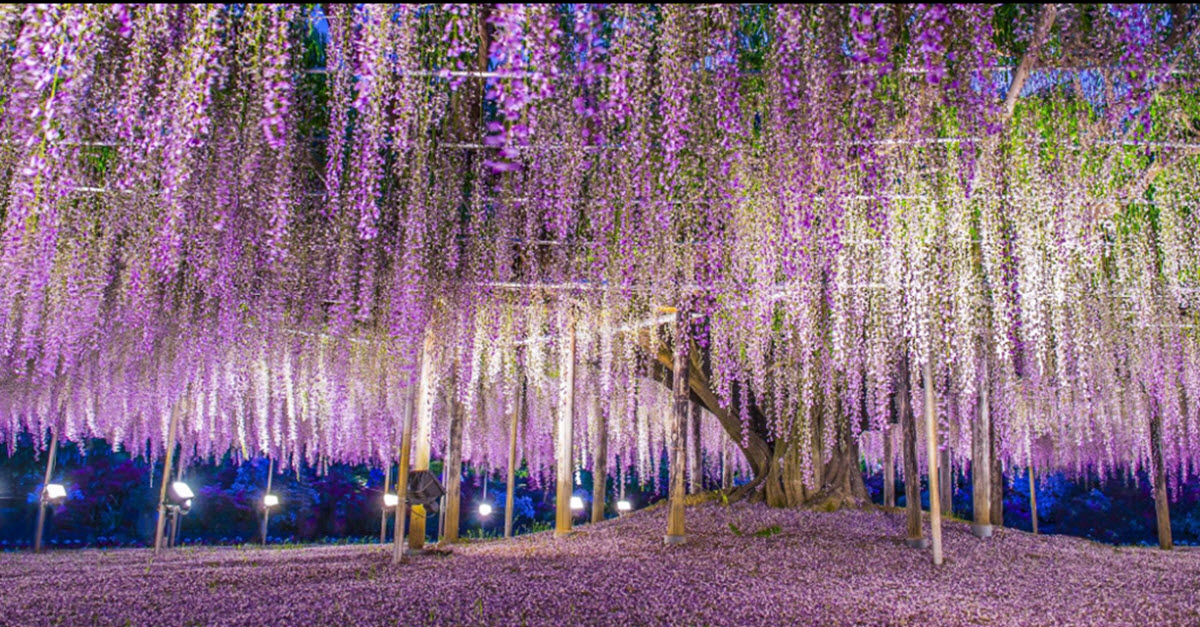 Japan S Oldest Wisteria Tree Is Almost Too Beautiful For This World Inner Strength Zone