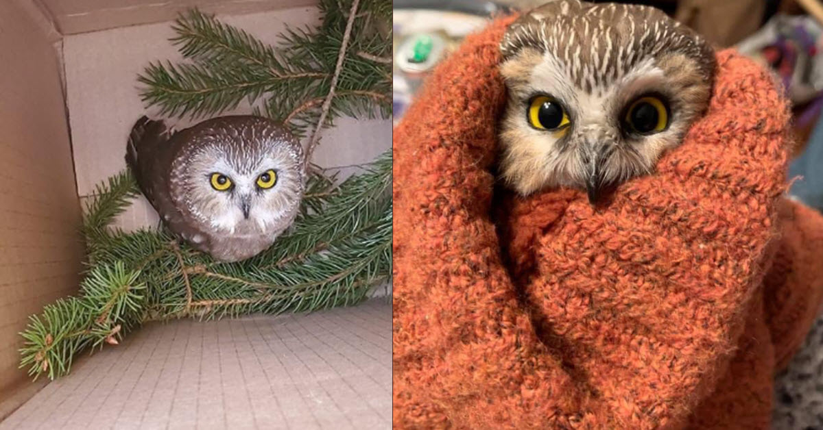 Folks Are Going GaGa Over Ridiculously Cute Tiny Owl Found Nestled Inside Rockefeller Christmas ...