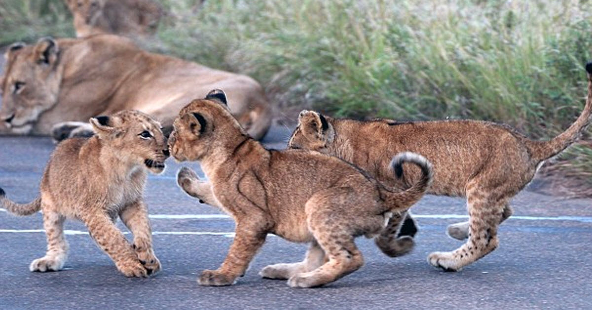 The Cutest Lion Cubs Block Traffic For A Wrestling Match